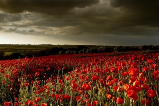 Free Poppy Field Farm Picture for Android, iPhone and iPad