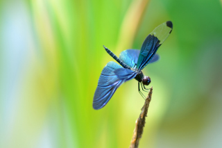 Blue dragonfly Background for Android, iPhone and iPad