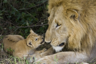 Lion With Baby sfondi gratuiti per cellulari Android, iPhone, iPad e desktop