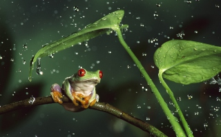 Free Red Eyes Frog Picture for Fullscreen Desktop 1280x960