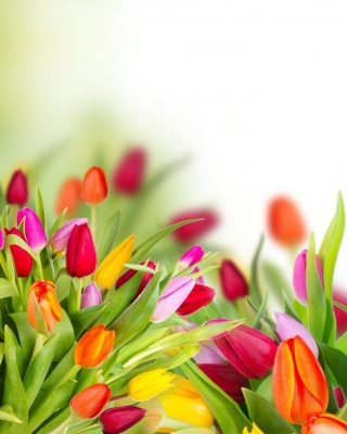 Tender Spring Tulips sfondi gratuiti per iPhone 6 Plus