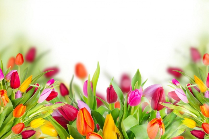 Tender Spring Tulips wallpaper
