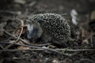 Free Forest Hedgehog Picture for Android, iPhone and iPad