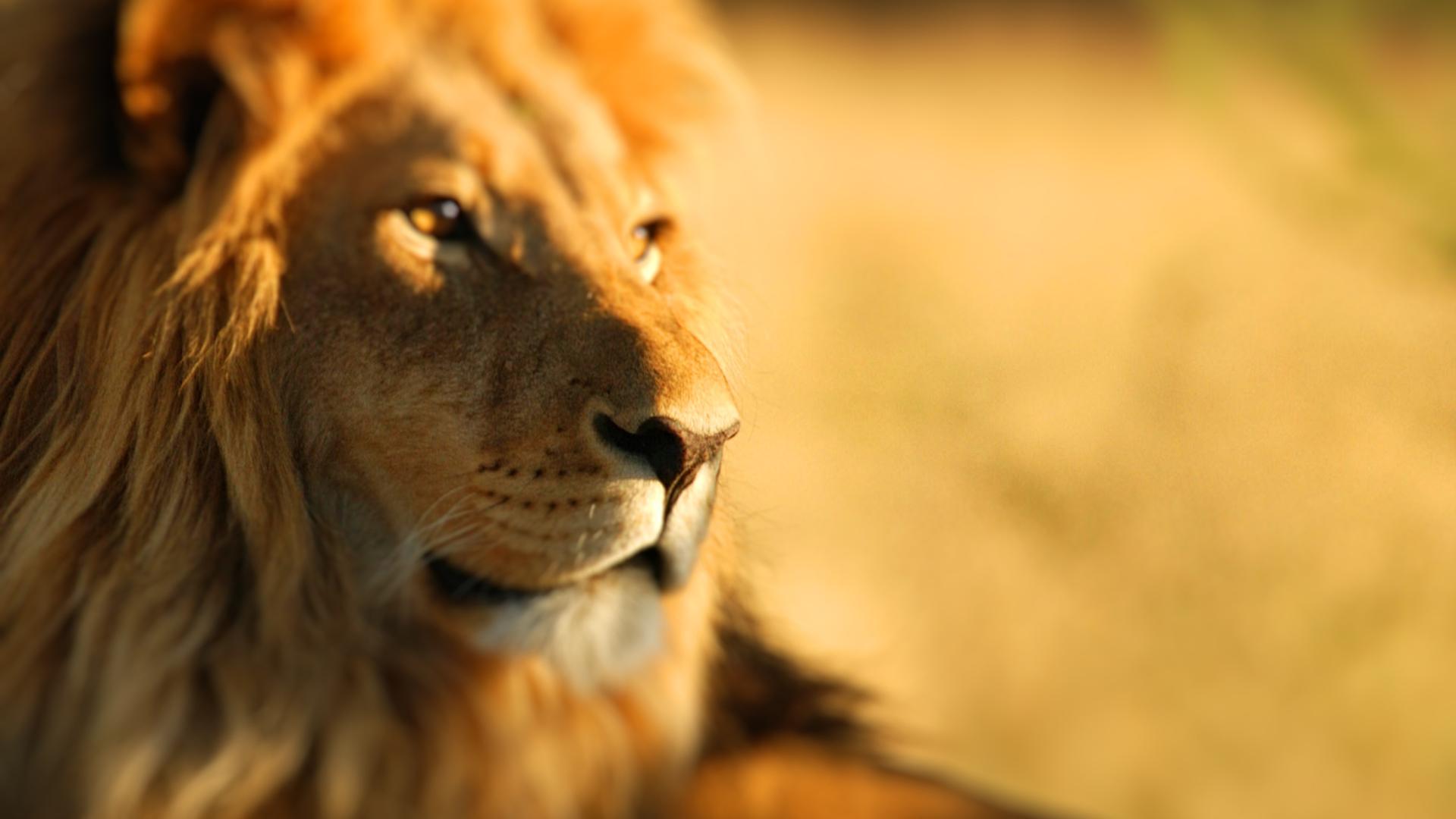 Фото высокого качества львы на фон телефона арка барселоне