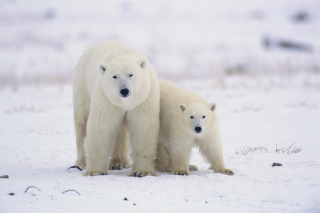 Polar Bears in Canada Wallpaper for Android, iPhone and iPad