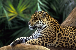 Jaguar In Amazon Rainforest - Obrázkek zdarma