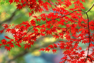 Japanese Maple Wallpaper for Android, iPhone and iPad