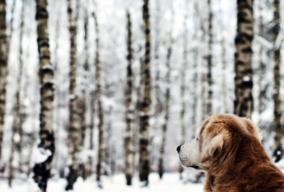 Dog Looking At Winter Landscape - Obrázkek zdarma