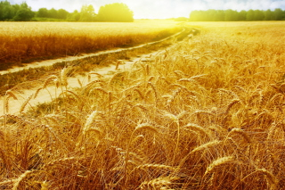 Wheat Field sfondi gratuiti per cellulari Android, iPhone, iPad e desktop