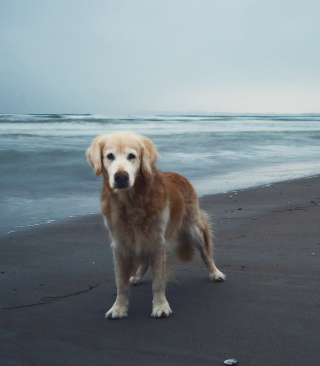 Dog On Beach - Fondos de pantalla gratis para Nokia Asha 311