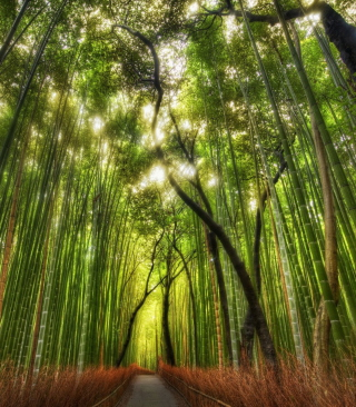 Free Bamboo Forest Picture for Nokia Asha 306