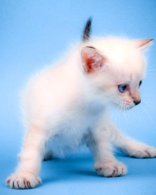 Small Kitten Wallpaper for Nokia 5800 XpressMusic