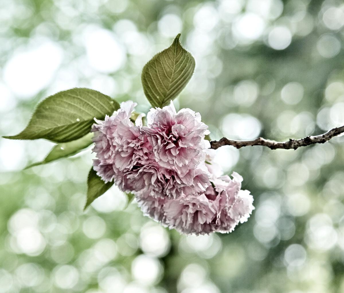 Screenshot №1 pro téma Spring of CherryBlossoms 1200x1024
