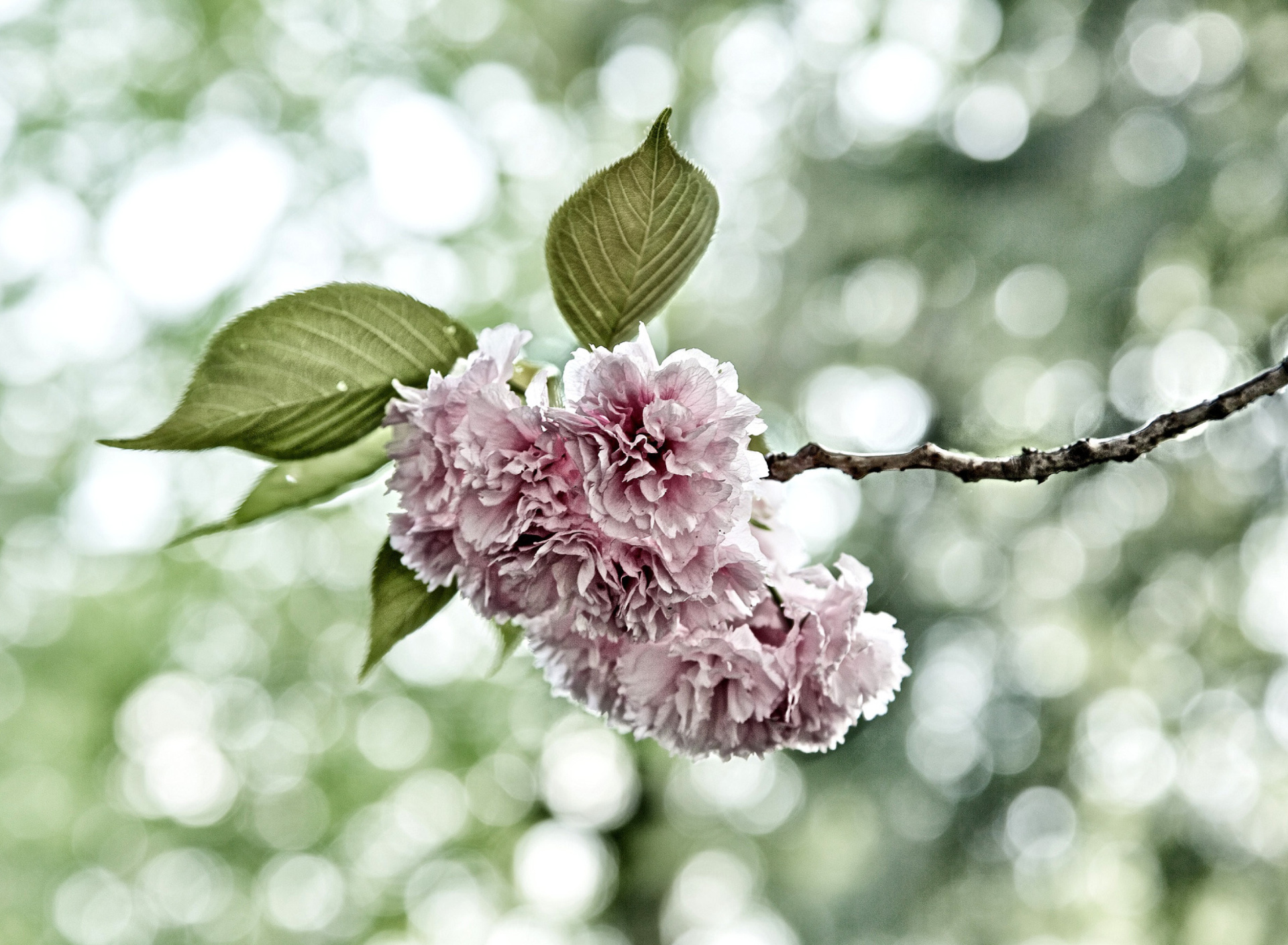 Screenshot №1 pro téma Spring of CherryBlossoms 1920x1408