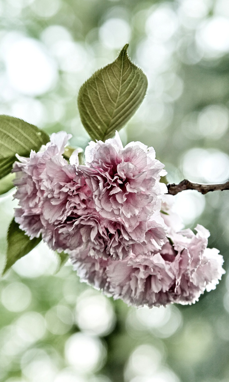 Screenshot №1 pro téma Spring of CherryBlossoms 768x1280
