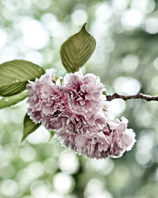 Spring of CherryBlossoms sfondi gratuiti per iPhone 4S