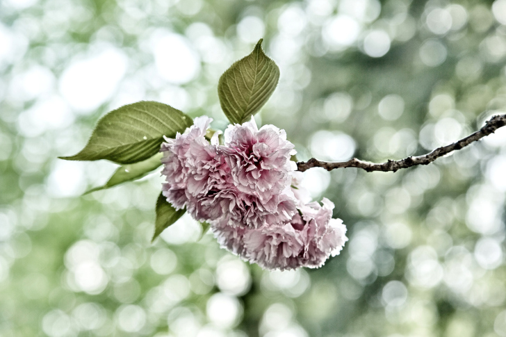 Screenshot №1 pro téma Spring of CherryBlossoms