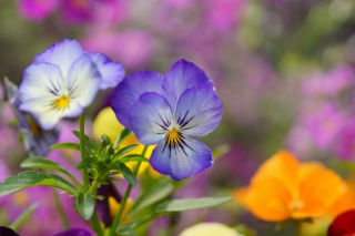 Wild Flowers Viola tricolor or Pansies Background for Android, iPhone and iPad