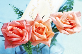Orange Roses Tenderness Wallpaper for Android, iPhone and iPad