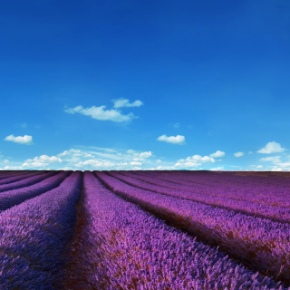Lavender Farm Background for Nokia 6100