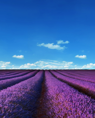 Free Lavender Farm Picture for Nokia Asha 308