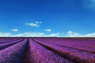 Lavender Farm Background for Sharp Aquos SH8298U