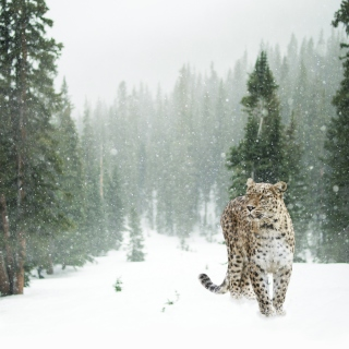 Persian leopard in snow sfondi gratuiti per iPad Air