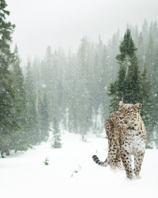 Persian leopard in snow Background for Nokia Asha 305