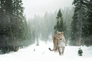 Persian leopard in snow Background for Android, iPhone and iPad