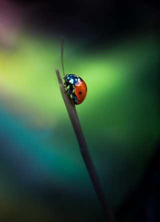 Ladybug Background for iPhone 6 Plus