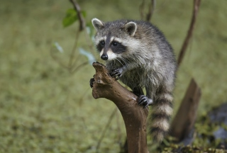 Little Raccoon Picture for Android, iPhone and iPad