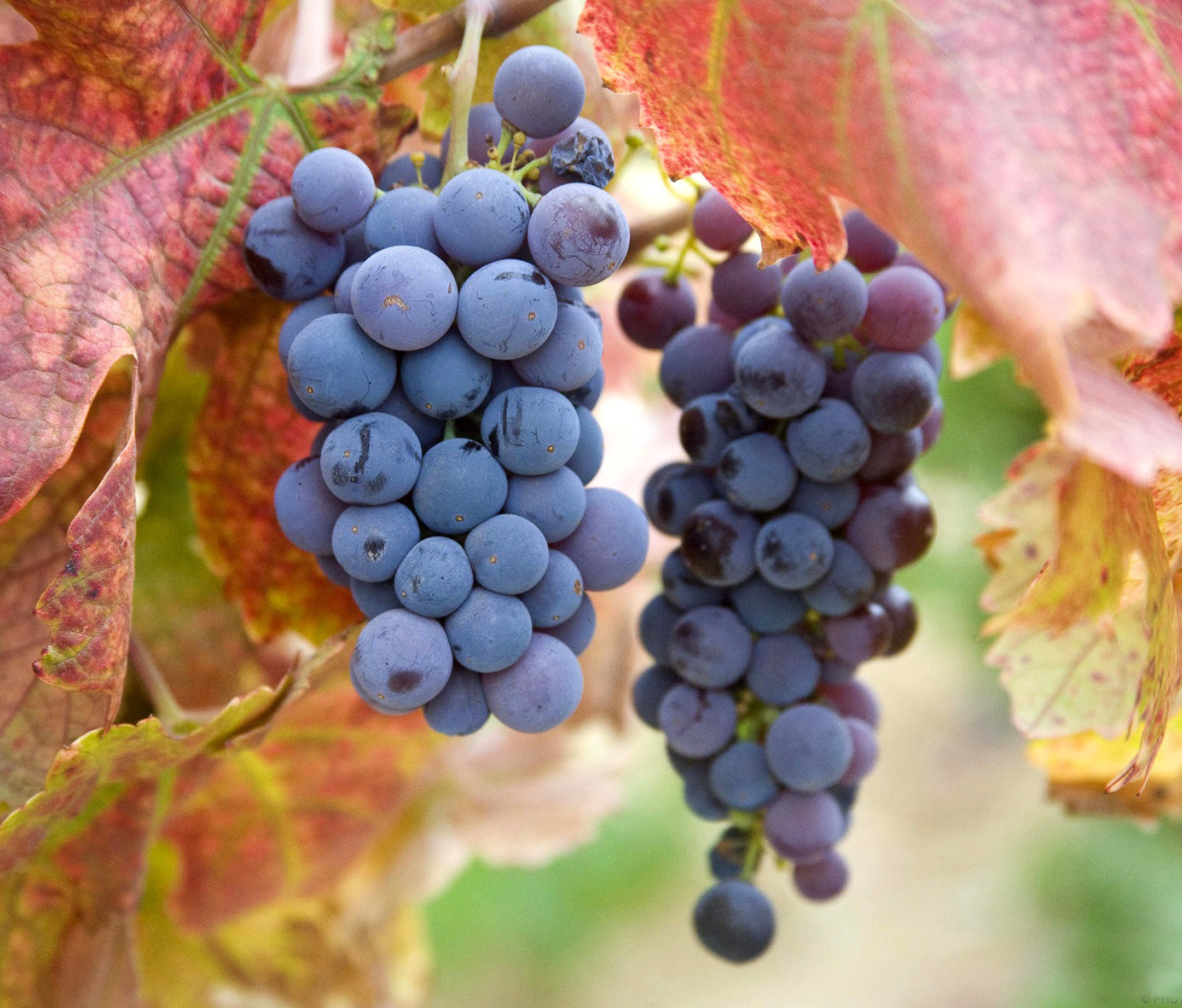 Sfondi Grapes 1200x1024