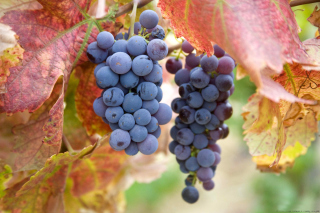 Free Grapes Picture for Android, iPhone and iPad