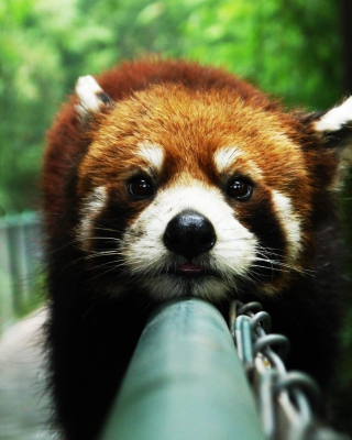 Cute Red Panda Wallpaper for HTC Titan