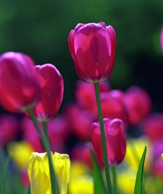 Spring Tulips Wallpaper for HTC Titan