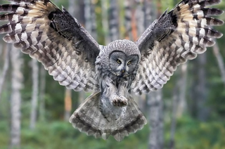 Owl Forest Birds Background for Android, iPhone and iPad