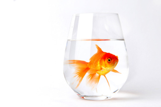 Free Goldfish in Glass Picture for Android, iPhone and iPad