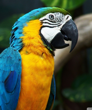 Картинка Blue And Yellow Macaw для Nokia Asha 306