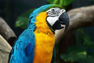 Blue And Yellow Macaw sfondi gratuiti per cellulari Android, iPhone, iPad e desktop