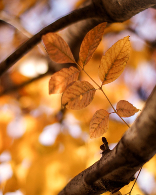 Kostenloses Yellow Macro Autumn Leaves Wallpaper für 176x220