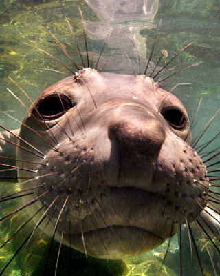 Elephant seal sfondi gratuiti per iPhone 6 Plus