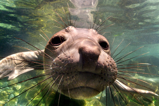 Elephant seal Picture for Android, iPhone and iPad