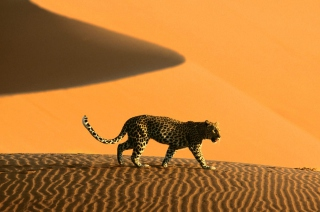Free Cheetah In Desert Picture for Android, iPhone and iPad