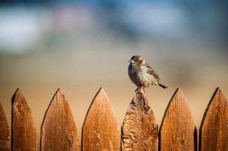 Sparrow Wallpaper for Android, iPhone and iPad