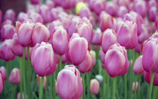 Pink Blossom Tulips Background for 480x400