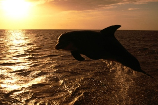 Dolphin - Ocean Life Wallpaper for Android, iPhone and iPad