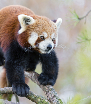 Cute Red Panda Picture for HTC Titan