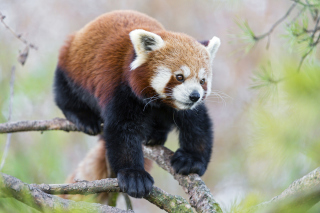 Cute Red Panda Picture for Android, iPhone and iPad