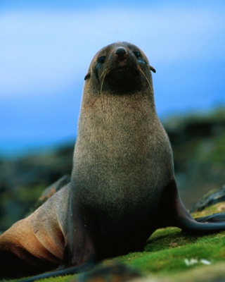The Antarctic Fur Seal sfondi gratuiti per Nokia C6
