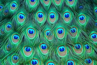Free Peacock Feathers Picture for Android, iPhone and iPad